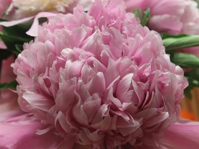 Our Own Peonies