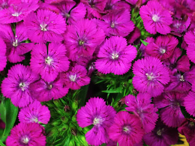 Our Own Sweet William