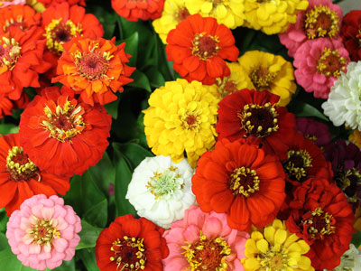 Our Own Zinnias